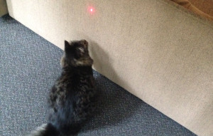 Oliver the cat loves laser pointers